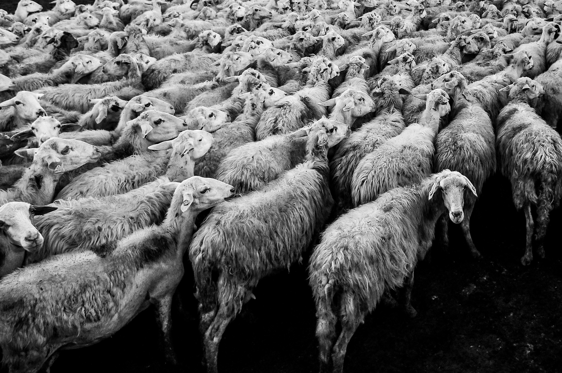 sheep-1148999_1920