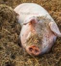 La mia vita coi maiali