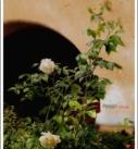 Alte, le rose